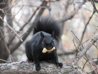28972865-eastern_grey_squirrel-black-1489711356-650-45bce1663c-1489750406