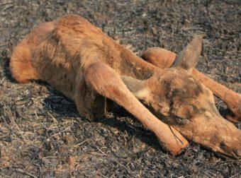 Маленький живой комочек посреди выгоревшего леса… Лесник и его пёс нашли и выходили беднягу!
