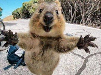 Квокка — самое улыбчивое животное в мире! :) Улыбаемся вместе с ними!!!