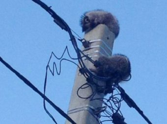 Как и почему? Сонные еноты сидели на столбе электропередач и ждали, когда их спасут!