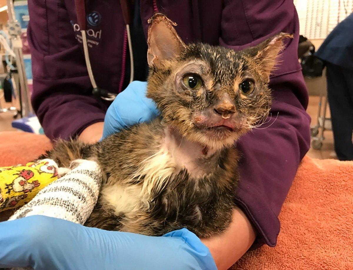 Он выдержал беду... И выжил! Сладкий котёнок-Росомаха заново учится ходить