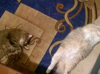 Как кот Тима нашёл себе жену… Трогательная история любви! :)