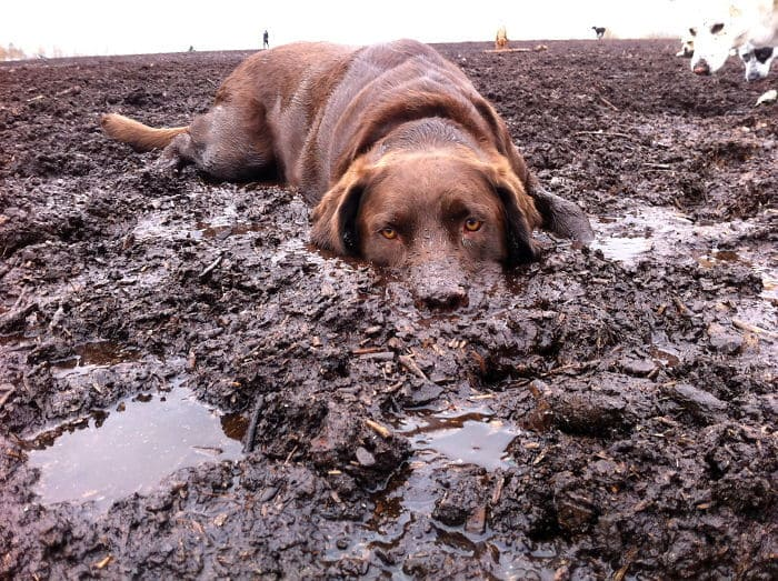 Dirty-Dogs-Playing-In-Mud-666-591463a355847__700