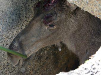 «Помогите! Лосик упал в выгребную яму!» Спасибо, люди, что не бросили животное в беде!