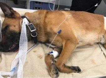 Пёс-герой! Каспер бросился под пули, чтобы спасти своего напарника…