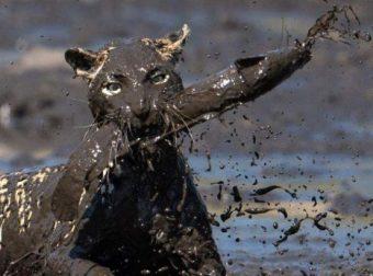"""""""Я в шоколаде!"""" Удивительно колоритная история о том, как леопард в луже охотился! :)"""