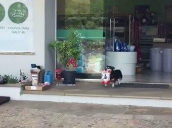 Питуко собрался по магазинам! Этому пёсику продавцы дают всё, что он попросит… и вот почему!