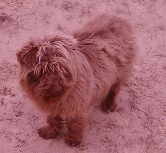 Манюня или Агрессивка: история маленькой собачки