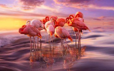 prekrasnye-flamingo-odni-iz-samyx-drevnix-ptic-2