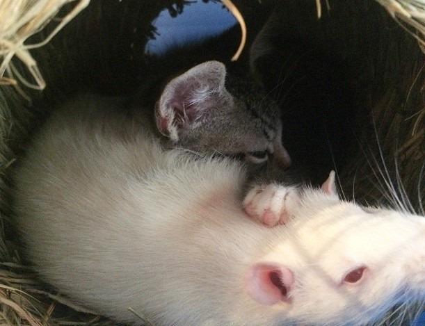 Это вам не «Том и Джери»! В этом зоокафе милые крыски воспитывают котят ) рис 2
