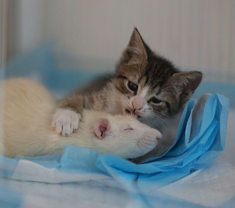 Это вам не «Том и Джери»! В этом зоокафе милые крыски воспитывают котят )