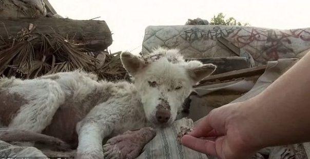 Чудесное спасение пса Майли! Хаски, который познал человеческую жестокость и милосердие...
