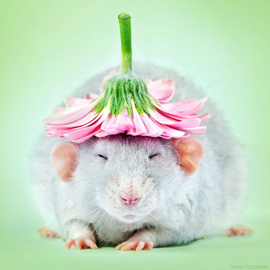 Милота с хвостиком!) Эти крыски доказывают, что грызуны - самые милые питомцы