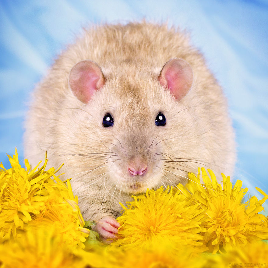 Милота с хвостиком!) Эти крыски доказывают, что грызуны - самые милые питомцы рис 10
