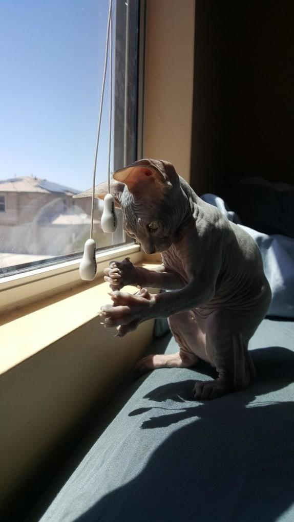 Милые и… не пушистые! Котики сфинксы, которые покоряют своей необычной внешностью рис 10