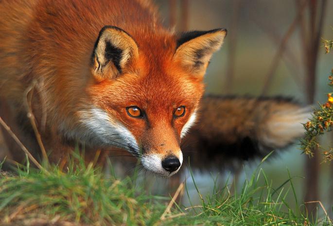 Хитрый рыжий незнакомец! 11 фактов о лисах, про которые ты не знаешь :) рис 6