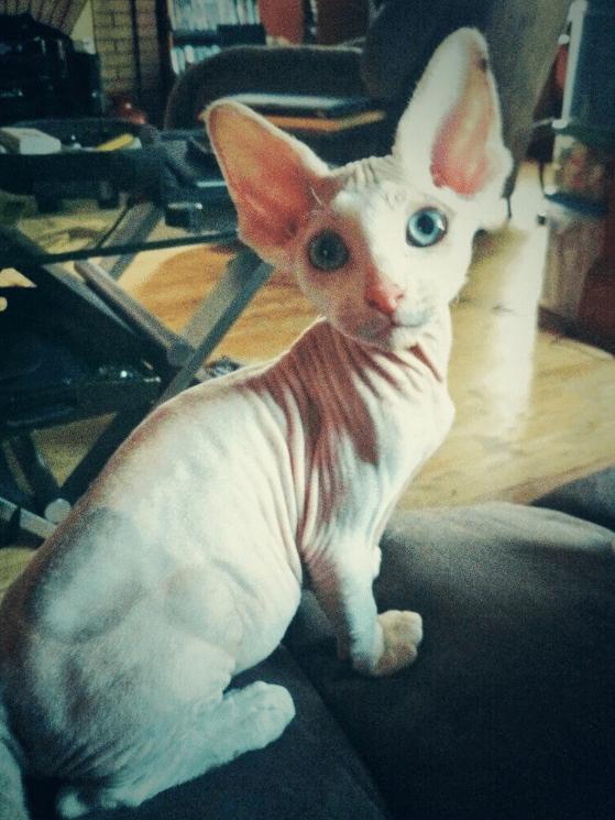 Милые и… не пушистые! Котики сфинксы, которые покоряют своей необычной внешностью рис 11