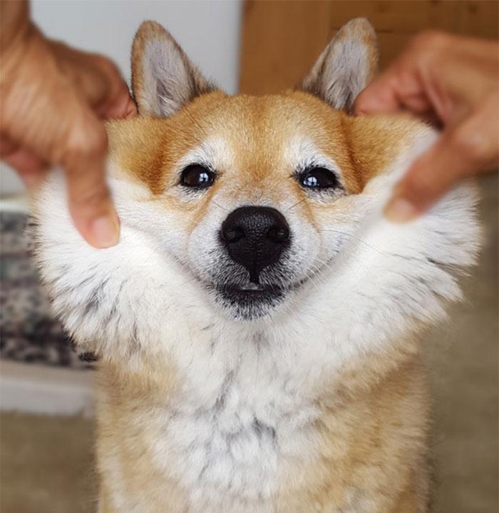 Щекастые и пушистые! 25 фото веселых собак, которые без ума от массажа щёк) рис 11