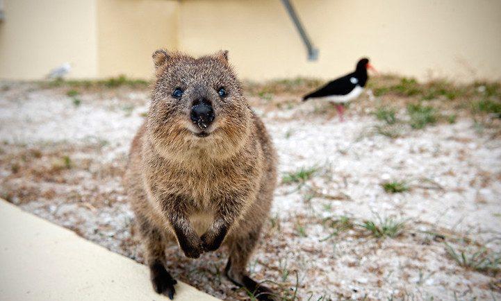 Самая искренняя улыбка в мире животных :) Ох уж эти удивительные квокки! рис 11