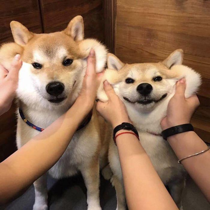 Щекастые и пушистые! 25 фото веселых собак, которые без ума от массажа щёк) рис 12