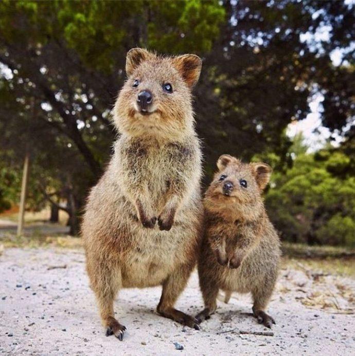 Самая искренняя улыбка в мире животных :) Ох уж эти удивительные квокки! рис 12