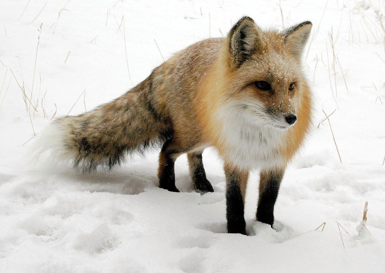 Хитрый рыжий незнакомец! 11 фактов о лисах, про которые ты не знаешь :) рис 5