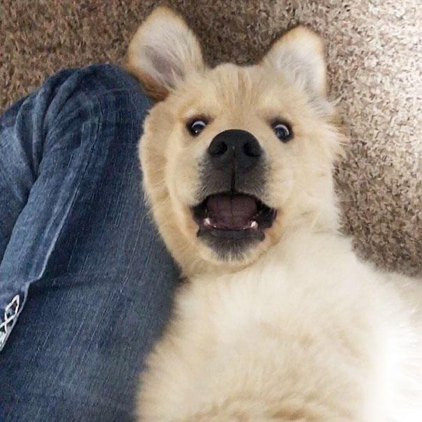Солнышки! Эти щенки золотистого ретривера заставят улыбнуться каждого! рис 13