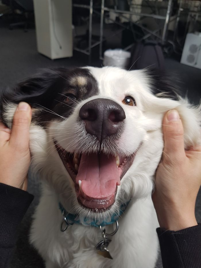 Щекастые и пушистые! 25 фото веселых собак, которые без ума от массажа щёк) рис 13