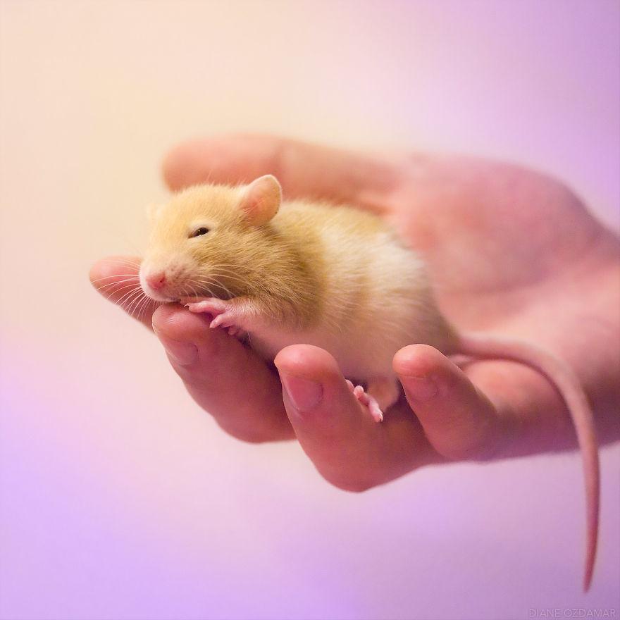 Милота с хвостиком!) Эти крыски доказывают, что грызуны - самые милые питомцы рис 13
