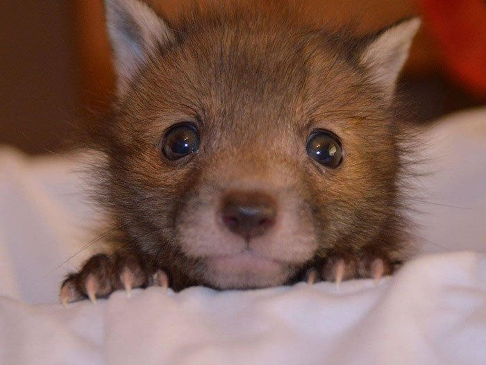 Хитрый рыжий незнакомец! 11 фактов о лисах, про которые ты не знаешь :) рис 3