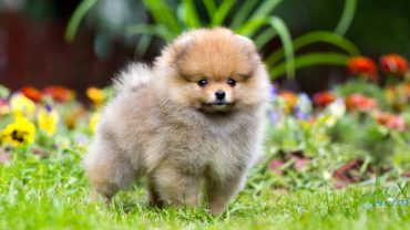 1480941202_pomeranian-dog-photo-1