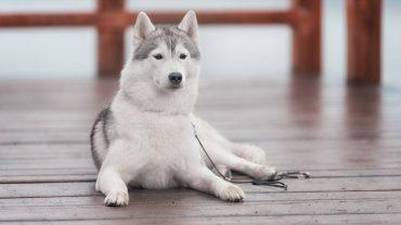 1481207710_siberian-husky-dog-photo-7