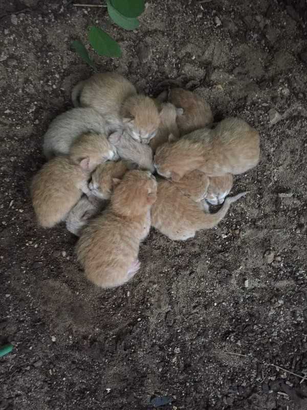 Ромашка из рыжиков: кто-то забыл в саду 3-дневных детей... Но они не сдались! )