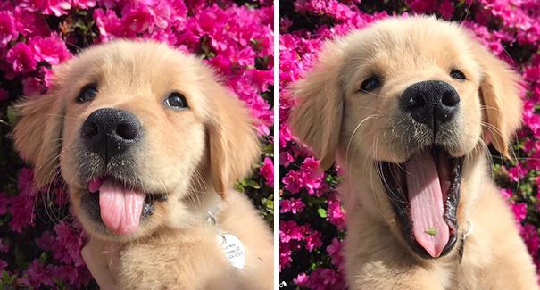 Солнышки! Эти щенки золотистого ретривера заставят улыбнуться каждого! рис 15