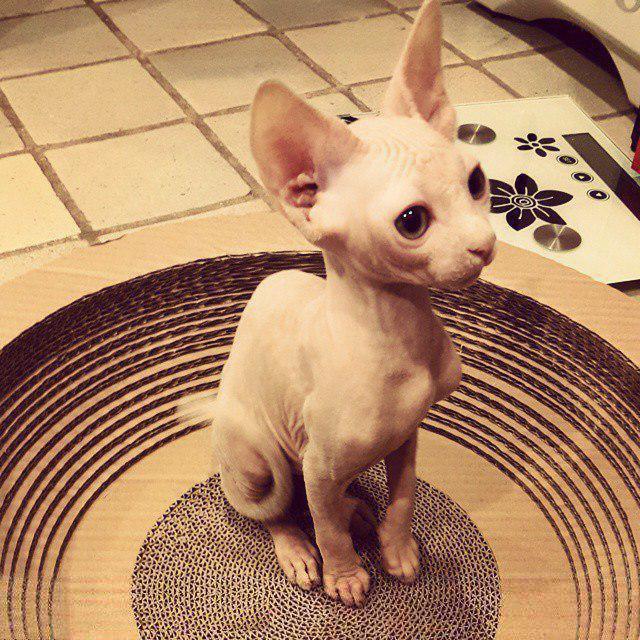 Милые и… не пушистые! Котики сфинксы, которые покоряют своей необычной внешностью рис 15