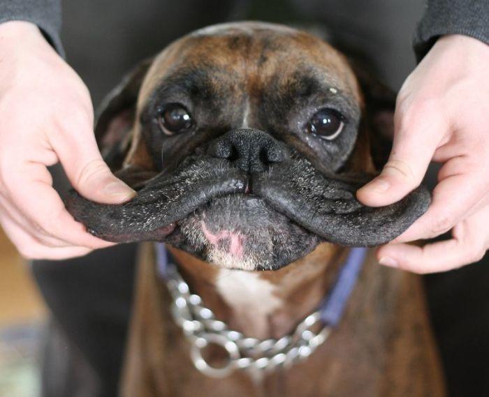 Щекастые и пушистые! 25 фото веселых собак, которые без ума от массажа щёк) рис 16