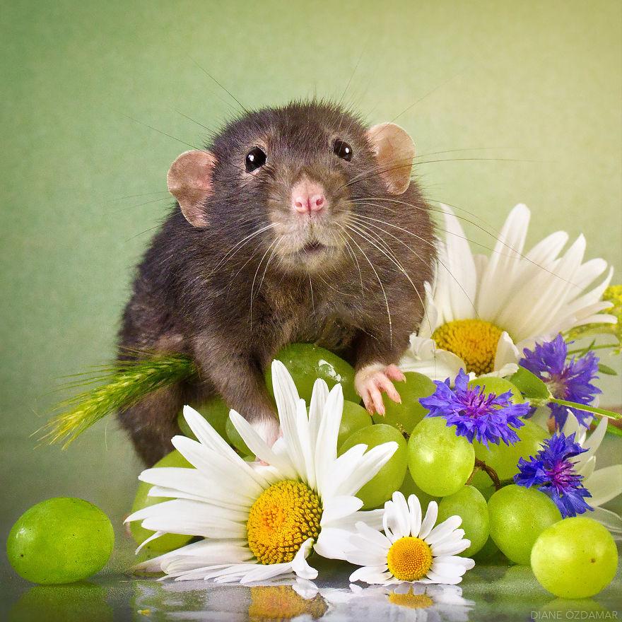 Милота с хвостиком!) Эти крыски доказывают, что грызуны - самые милые питомцы рис 16