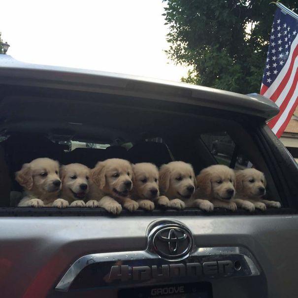Солнышки! Эти щенки золотистого ретривера заставят улыбнуться каждого! рис 17