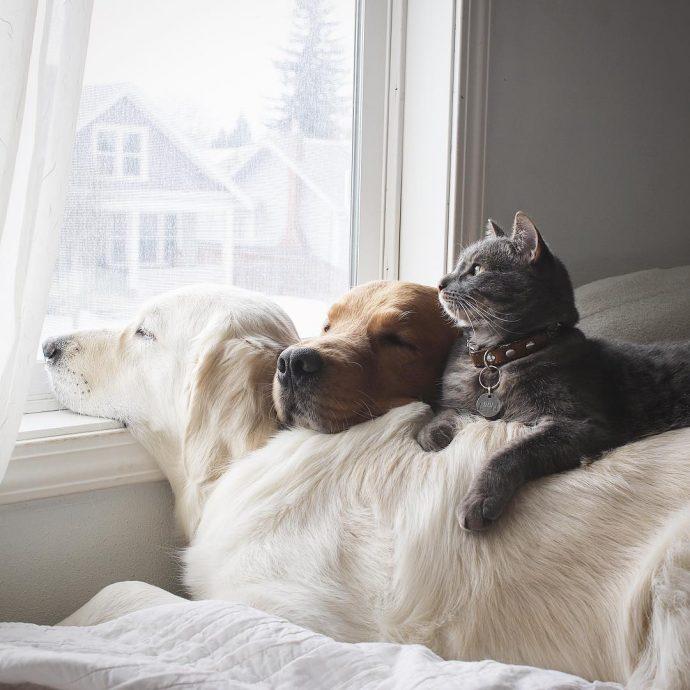 Тревожный ретривер: эта белоснежная собака спасла своего товарища от кошмаров! рис 5