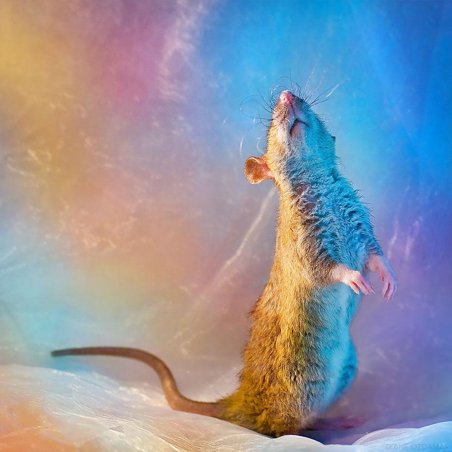 Милота с хвостиком!) Эти крыски доказывают, что грызуны - самые милые питомцы рис 18