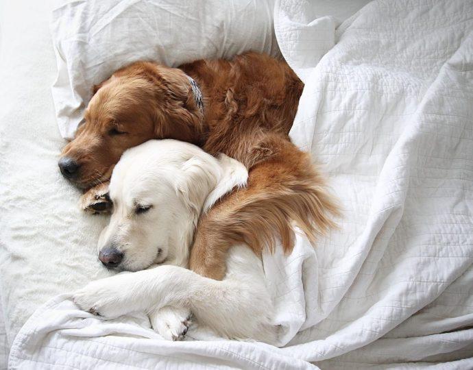 Тревожный ретривер: эта белоснежная собака спасла своего товарища от кошмаров! рис 3