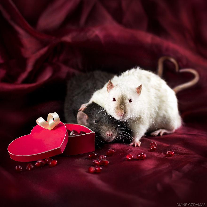 Милота с хвостиком!) Эти крыски доказывают, что грызуны - самые милые питомцы рис 19