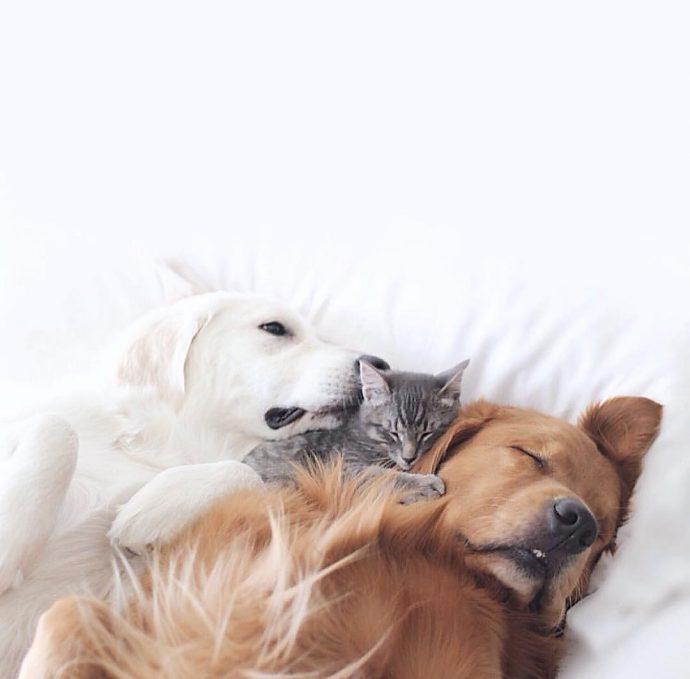 Тревожный ретривер: эта белоснежная собака спасла своего товарища от кошмаров! рис 4