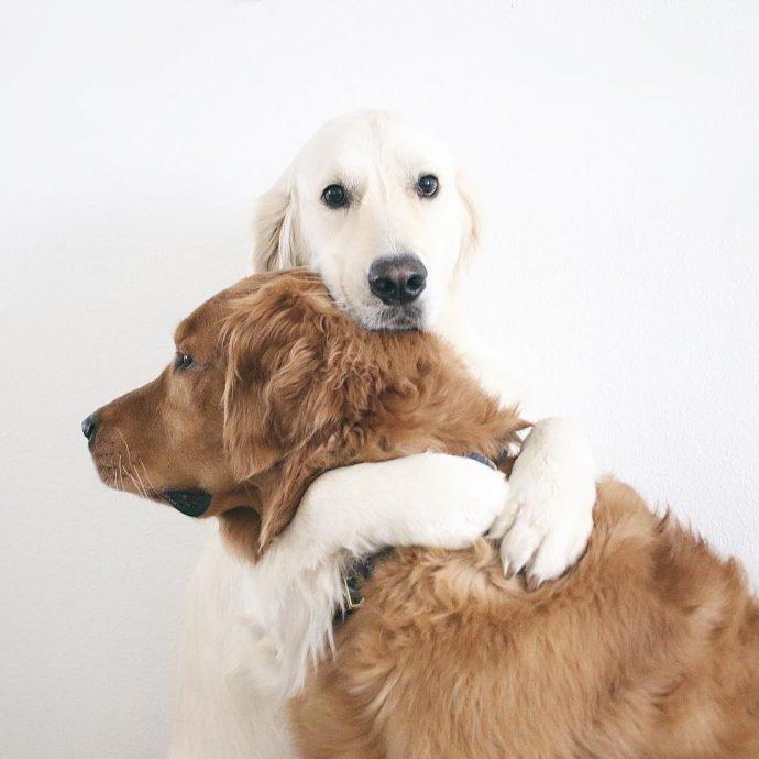 Тревожный ретривер: эта белоснежная собака спасла своего товарища от кошмаров! рис 2