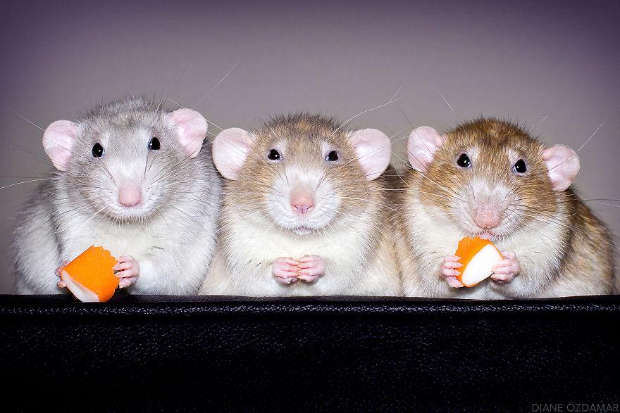 Милота с хвостиком!) Эти крыски доказывают, что грызуны - самые милые питомцы рис 2