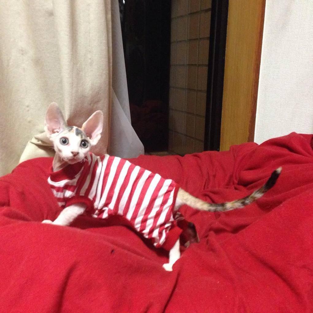 Милые и… не пушистые! Котики сфинксы, которые покоряют своей необычной внешностью рис 2