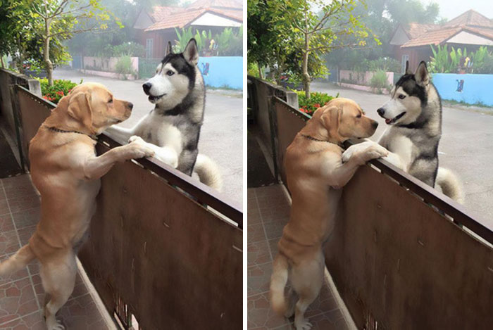 Не плачь, хаски-сан! Одинокий пёс сбежал из дома, чтобы обнять лучшего друга! :) рис 2