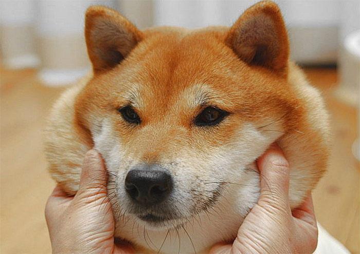 Щекастые и пушистые! 25 фото веселых собак, которые без ума от массажа щёк) рис 21