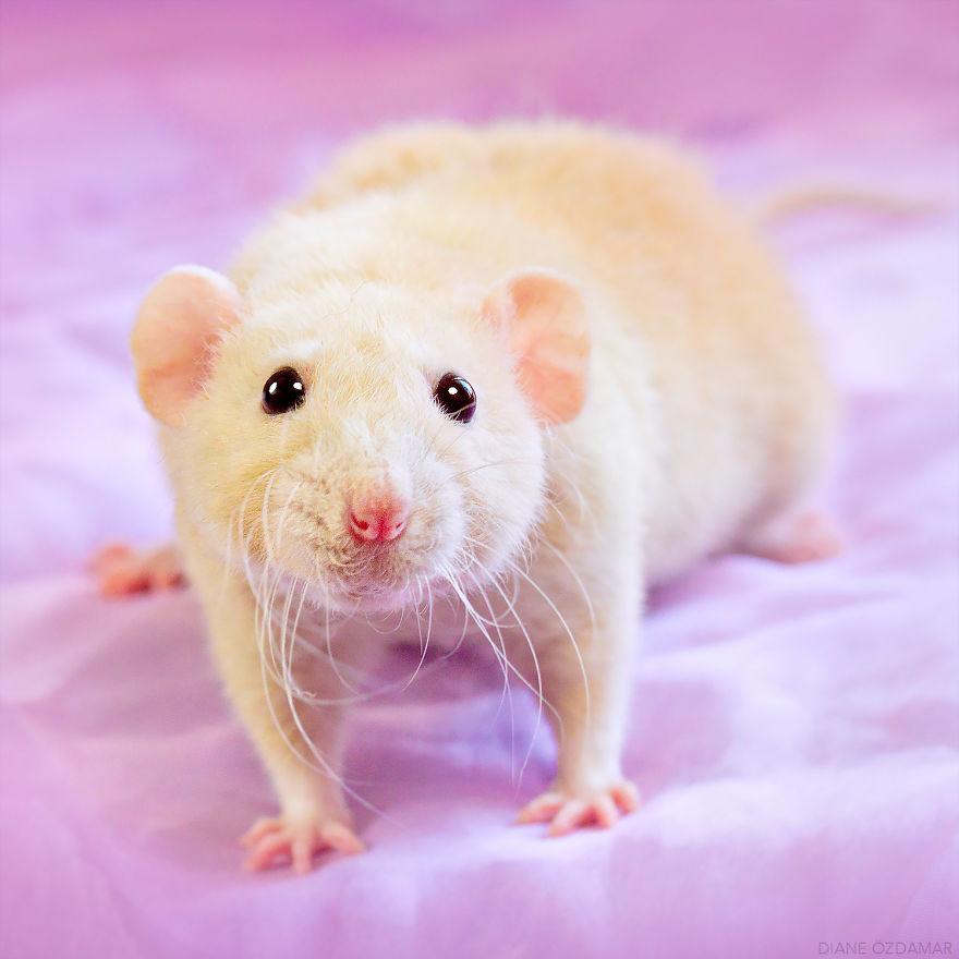 Милота с хвостиком!) Эти крыски доказывают, что грызуны - самые милые питомцы рис 21