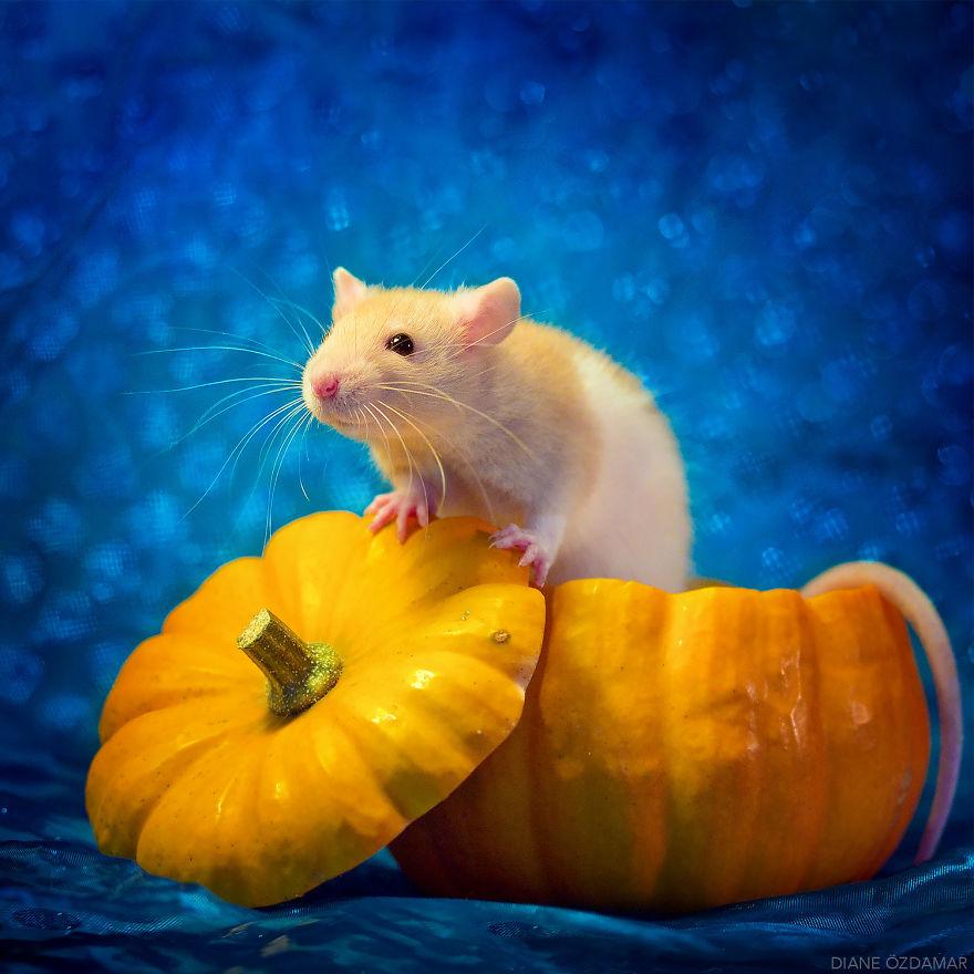 Милота с хвостиком!) Эти крыски доказывают, что грызуны - самые милые питомцы рис 22